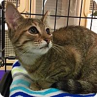 Domestic Shorthair Kitten for adoption in Mansfield, Texas - Charlie