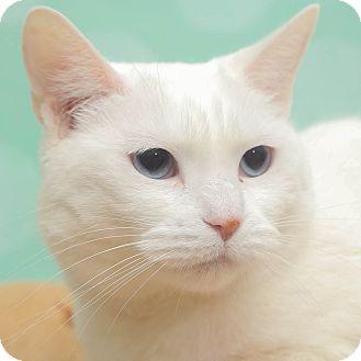 Domestic Shorthair Cat for adoption in Chippewa Falls, Wisconsin - Pita