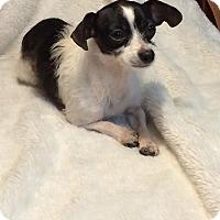 Adopt A Pet :: Dottie - Plainfield, CT