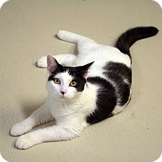 Domestic Shorthair Kitten for adoption in Waco, Texas - Mary Poppins