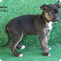 Adopt A Pet :: A089342 @ Kings County - Beverly Hills, CA