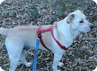 Labrador Retriever Mix Dog for adoption in Millersville, Maryland - Douglas