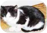 Domestic Shorthair Cat for adoption in New York, New York - Sweet Pea
