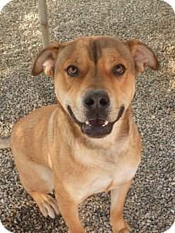 Shar Pei/Shepherd (Unknown Type) Mix Dog for adoption in Mira Loma, California - Riley