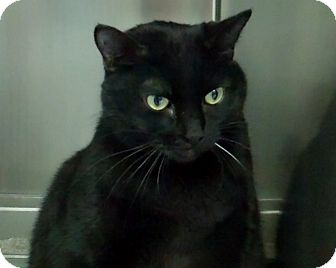 Burmese Cat for adoption in Los Angeles, California - Big Momma sweetheart! VIDEO