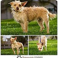 Adopt A Pet :: Cullen - Scottsdale, AZ