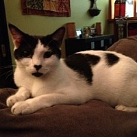 Domestic Shorthair Cat for adoption in Miami, Florida - Peanut