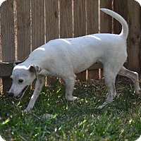 Jack Russell Terrier Dog for adoption in Sedalia, Missouri - cindy