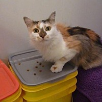 Calico Cat for adoption in St. Cloud, Florida - Precious
