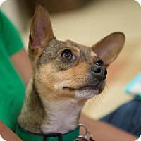Adopt A Pet :: Clara - Grass Valley, CA