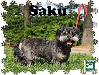 Shih Tzu Mix Dog for adoption in Fallston, Maryland - Saku