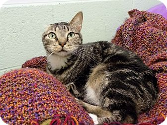 Domestic Shorthair Cat for adoption in Carencro, Louisiana - Bobby McGee
