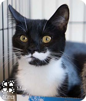 Domestic Shorthair Cat for adoption in Merrifield, Virginia - May
