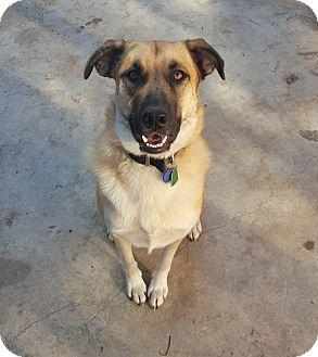 German Shepherd Dog/Shepherd (Unknown Type) Mix Dog for adoption in Fort Worth, Texas - Hazel