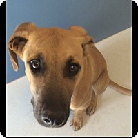 Adopt A Pet :: Bud(BO) Miller Time 22475 - Pampa, TX