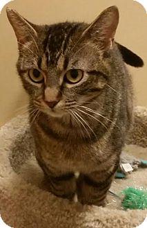 Domestic Shorthair Cat for adoption in McDonough, Georgia - Luella