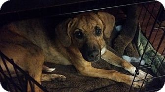 Black and Tan Coonhound/Boxer Mix Dog for adoption in Cookeville, Tennessee - Rose
