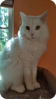 Domestic Longhair Cat for adoption in Marietta, Georgia - Prince Charming