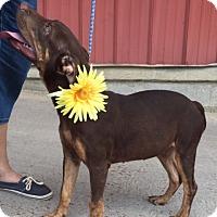 Doberman Pinscher Mix Puppy for adoption in Hagerstown, Maryland - Robbie