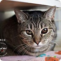 Domestic Shorthair Cat for adoption in Kansas City, Missouri - Ebbie