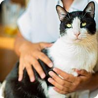 Adopt A Pet :: Total Lapcat Biz Markey aka Devo!! - Brooklyn, NY
