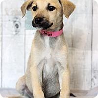 Adopt A Pet :: Pebbles - Waldorf, MD