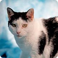 Adopt A Pet :: Meow Meow - Herndon, VA