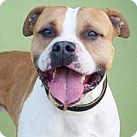 American Pit Bull Terrier Mix Dog for adoption in Los Angeles, California - Duke