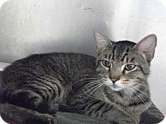 Domestic Shorthair Cat for adoption in Flint, Michigan - Kojak