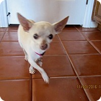 Chihuahua Mix Dog for adoption in San Diego, California - Franny