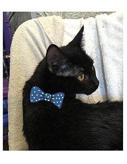 Domestic Shorthair Kitten for adoption in Paducah, Kentucky - Tonto