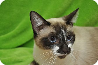 Siamese Cat for adoption in Foothill Ranch, California - Sophie