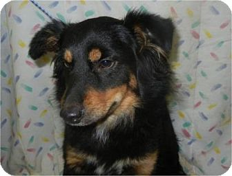 Sheltie, Shetland Sheepdog/Jack Russell Terrier Mix Dog for adoption in Antioch, Illinois - Woofy Goldberg ADOPTED!!
