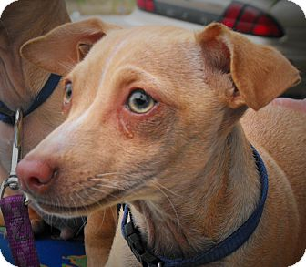 Dachshund/Chihuahua Mix Dog for adoption in Santa Ana, California - Stripe (JR)