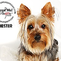 Adopt A Pet :: Chester-adoption pending - Omaha, NE