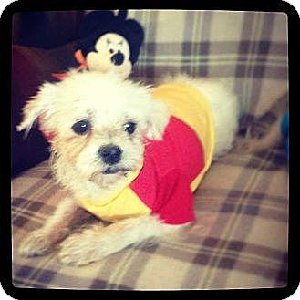Maltese Dog for adoption in San Diego, California - GAMBINO aka Winnie Tripod