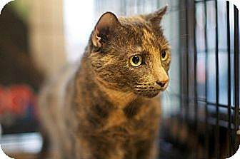 Domestic Shorthair Cat for adoption in New York, New York - Dixie