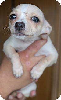 Chihuahua Mix Puppy for adoption in San Pablo, California - PAGA