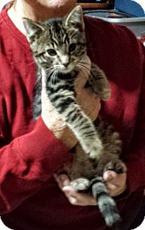 Domestic Shorthair Kitten for adoption in Manitowoc, Wisconsin - *Ivan*