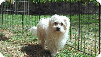 Poodle (Miniature)/Cocker Spaniel Mix Dog for adoption in Huntington Beach, California - Skipper