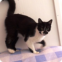 Domestic Shorthair Cat for adoption in Transfer, Pennsylvania - Theodore