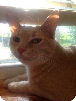 Domestic Shorthair Cat for adoption in Centerville, Georgia - Eureka