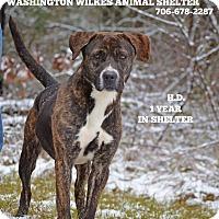 Labrador Retriever/Plott Hound Mix Dog for adoption in Washington, Georgia - HD