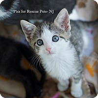 Adopt A Pet :: Aurelia - Shrewsbury, NJ