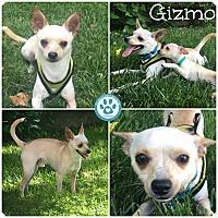 Adopt A Pet :: Gizmo - Kimberton, PA