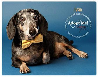 Dachshund Dog for adoption in Weston, Florida - Ivan
