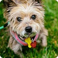 Adopt A Pet :: Olivia - ADOPTION PENDING!! - Arlington, VA