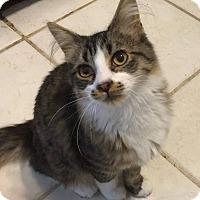 Domestic Mediumhair Cat for adoption in Davison, Michigan - Archie