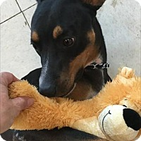 Miniature Pinscher Mix Dog for adoption in Rockville, Maryland - Rico Martin