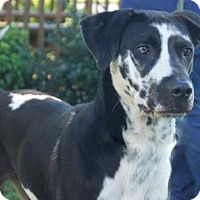 Great Dane/Catahoula Leopard Dog Mix Dog for adoption in Lebanon, Tennessee - Dixie (D16-114)